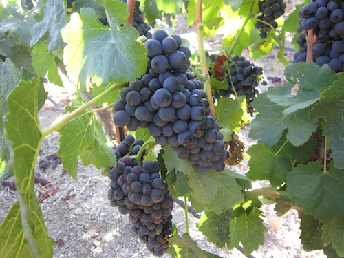 purple-grapes2